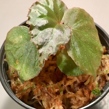 Begonia sp. from Tatau Sarawak Malaysia [RIO]