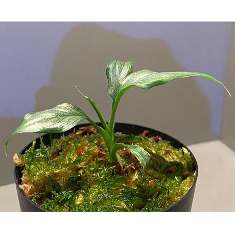 """Homalomena sp. White leaf from """"Pendang"""" Kal tengah [TB]"""