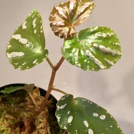 Begonia sp. 雪の宿 from Lampung sumatera [LA0217-01]