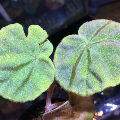 Begonia sp. from  Malay Peninsula [KN]