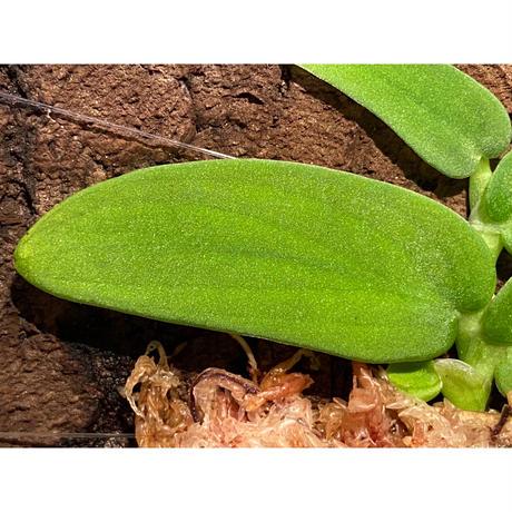 Rhaphidophola sp. from Genting Highlands