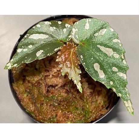 """Begonia sp. """"雪の宿"""" from Lampung sumatera [LA0217-01]"""