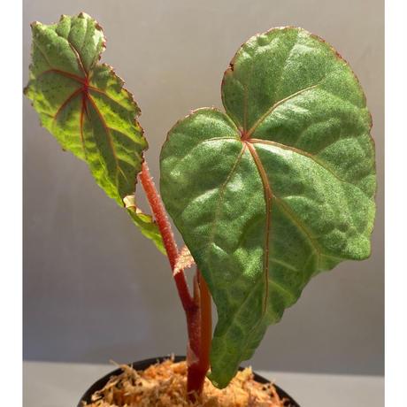 Begonia sp. from Na Hang ベトナム北部産 [TK]