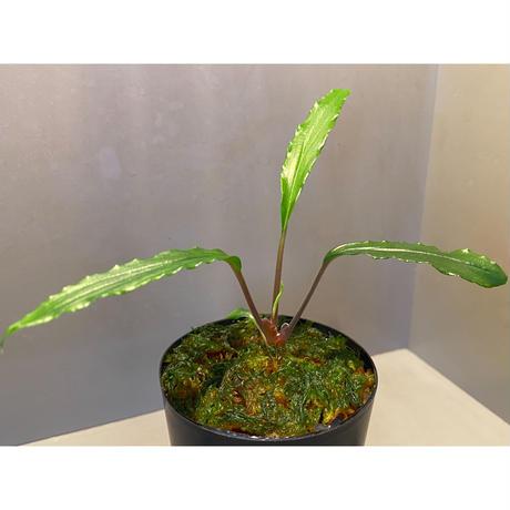 "Homalomena sp. ""Green"" from Sulawesi [LA]"