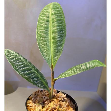 Ardisia sp. from Sumatera barat [TB]
