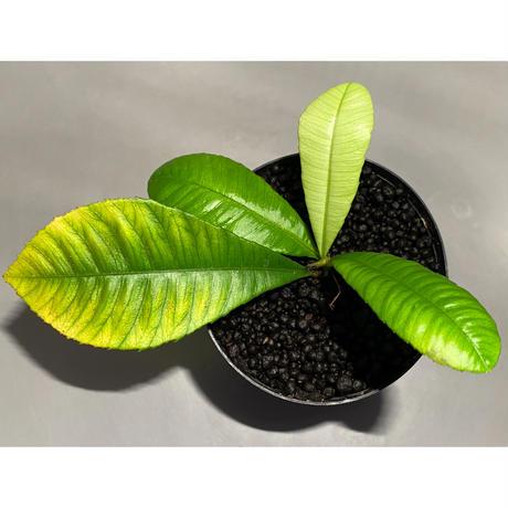 Sauvagesia sp. from Malay Peninsula