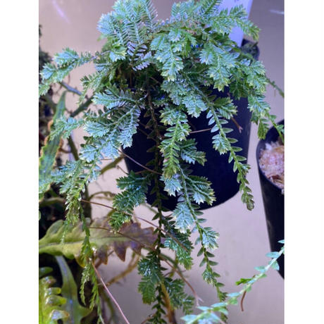 Selaginella sp. from Iquitos Peru [tanakay]