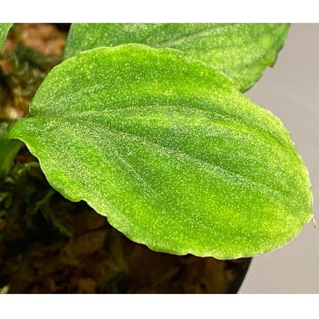 Homalomena sp. (Green) from Solok sumatera [LA0214-3]
