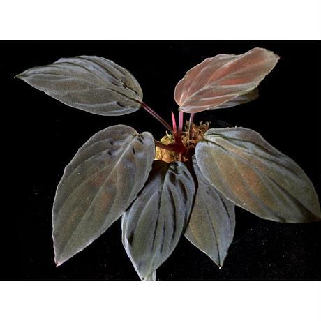 "Homalomena sp. Red ""Sabah-6"" [R0515-03a]"