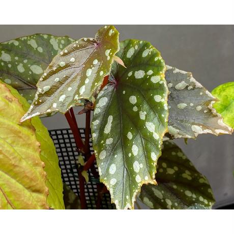 Begonia penrissenensis from Gunung Penrissen Sarawak