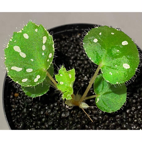 Begonia sp. from Rahad Datu [TK081116-1]