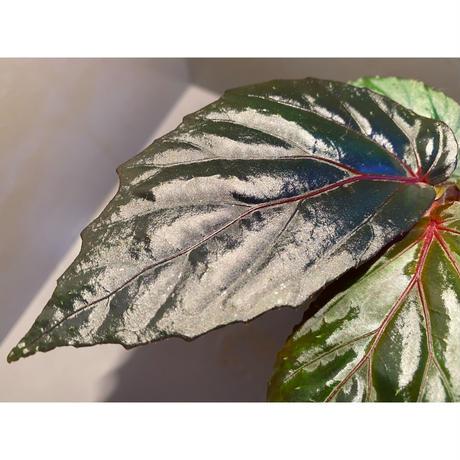 Begonia sp. from Sarawak