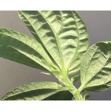 Gesneriaceae sp. from West Kalimantan