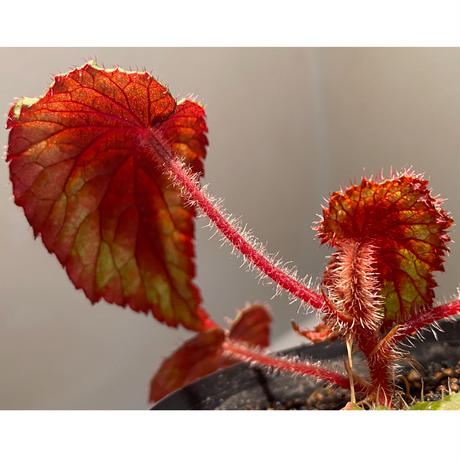 Begonia sp. from Ha Giang North Vietnam