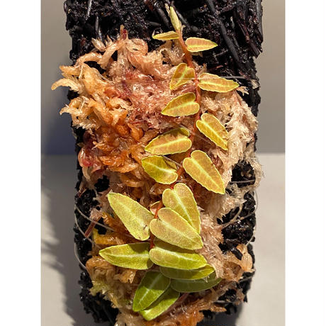 Marcgravia umbellata [Equaflor-A]