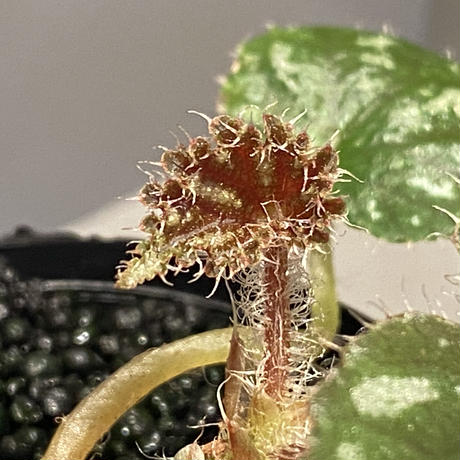 Begonia sp. from Cao Bang [YH251019] TK