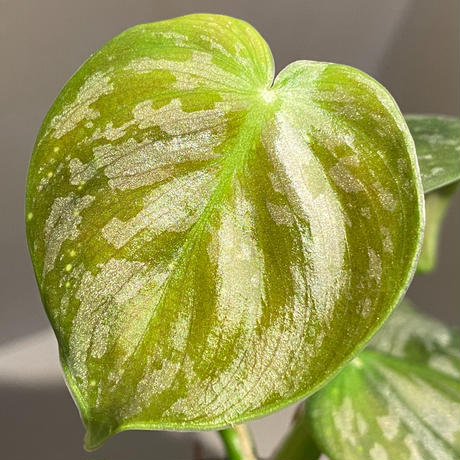 Philodendron sp. from Colombia [tanakay]