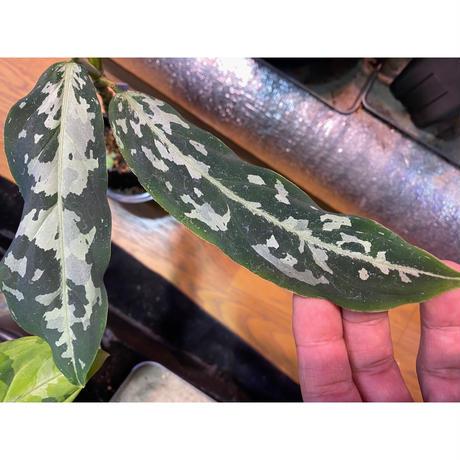 Aglaonema pictum from Tigalingga [GT1803]