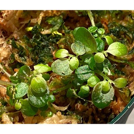 Pilea imparifolia from Iquitos Peru [tanakay]