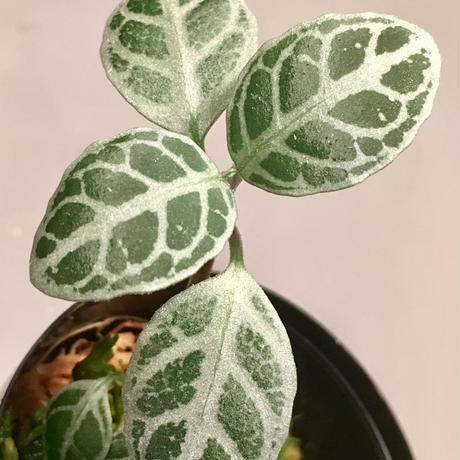 "Acanthaceae sp. from ""Tebakang"" Sarawak Malaysia"
