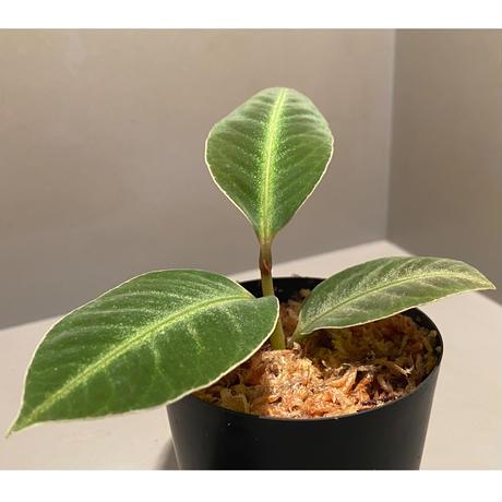 Ardisia malouiana from Sintang [HW0220-07]
