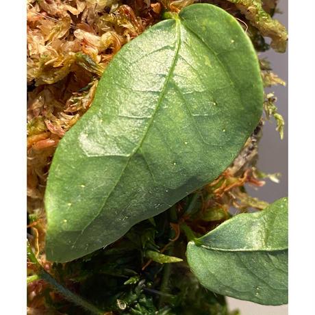 Ficus sp. from Murung raya [LA0515-05]