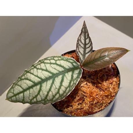 Ardisia sp. from Aceh sumatera [LA]