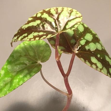 Begonia Variabilis [TK260915]