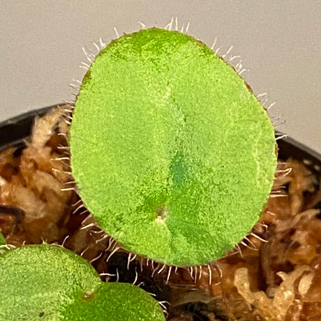 Begonia kingiana from Jerantut [TK170717]