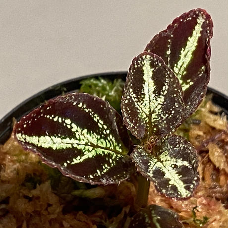Sonerila calophylla