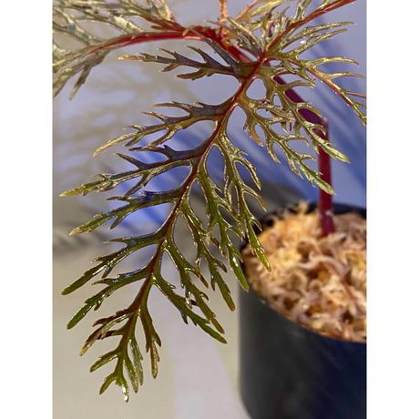 Begonia bipinnatifida [STRINGE PLANTS]
