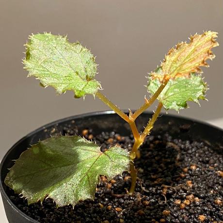 Begonia beccarii from Bau Sarawak