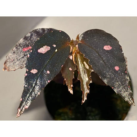 Begonia sp. from Julau [R1214-01b]