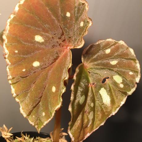 Begonia sp. from Sarawak[LA]