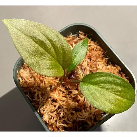 Homalomena sp. from West Kalimantan