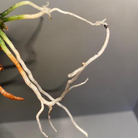 Aglaonema pictum bicolor  [TK-ZP0815-49]