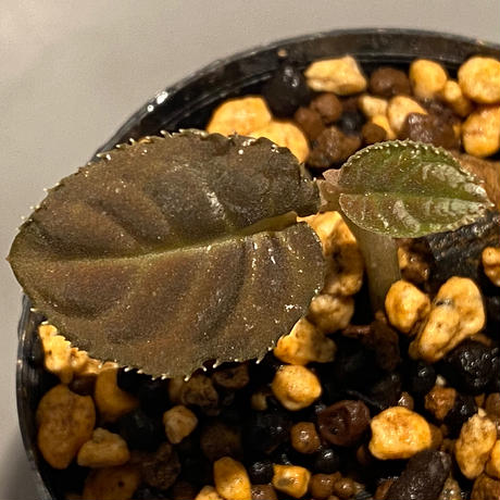 Ardisia sp. from Thailand