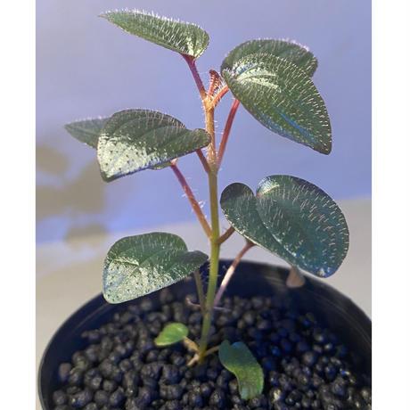 Phyllagathis rotundifolia [STRINGE PLANTS]
