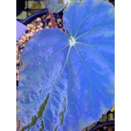 Begonia pavonina from Malaysia