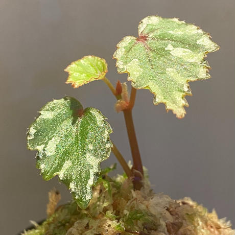 Begonia sp. from North Toraja [S0919-02] STRINGE PLANTS