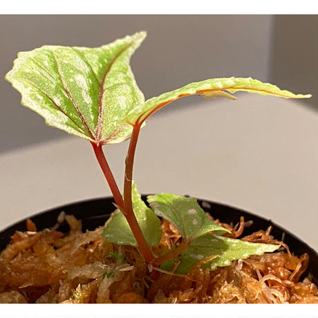 Begonia sp. from Sarikei [R1214-03a]