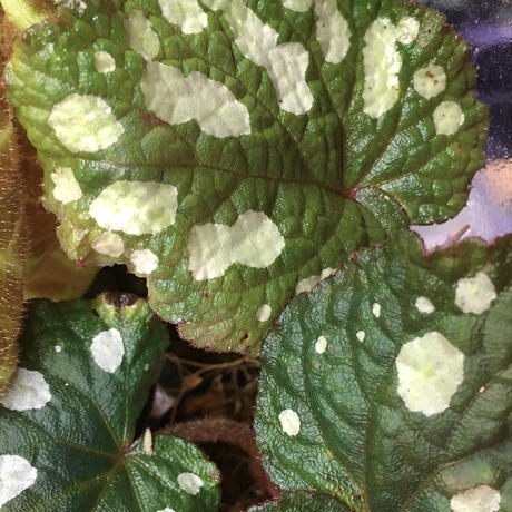 Begonia sp. fromTuyen Quang [YH1117]