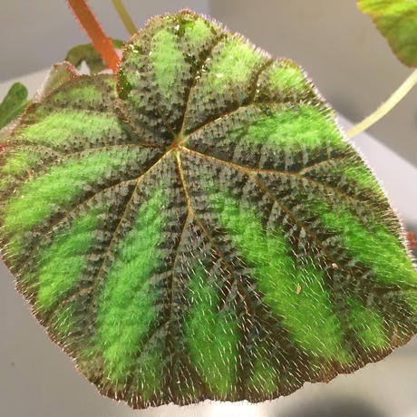 Begonia versicolor from Ha Giang WF1 [YH]