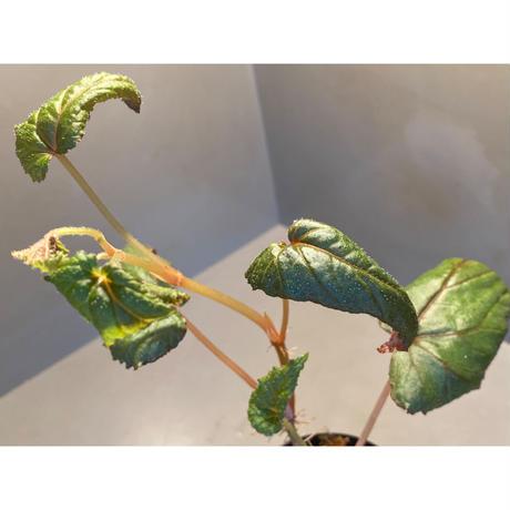 Begonia sp. from Chiang Rai [TK250518-3]
