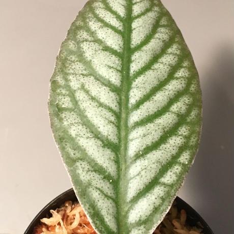 Ardisia sp. from Ache Sumatera [ L A]