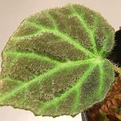Begonia sp. from Sumpur [TK031117]