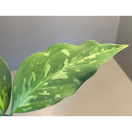 Aglaonema pictum tricolor from Aceh sumatera [LA0819-01b]