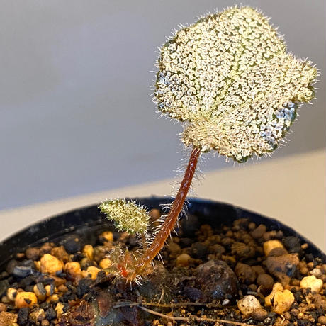 Begonia ningmingensis from Cao Bang