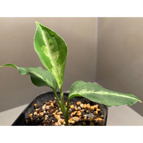Aglaonema pictum multicolor from Sibolga Utara [HW0818-06i(2)]