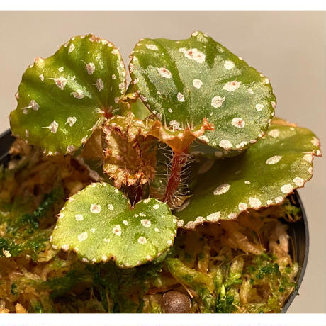 Begonia sp. from Muara Wahau [TB]